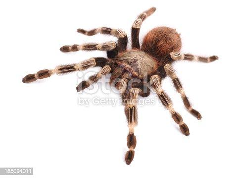 Tarantula spider, female (Vitalius paranaensis)