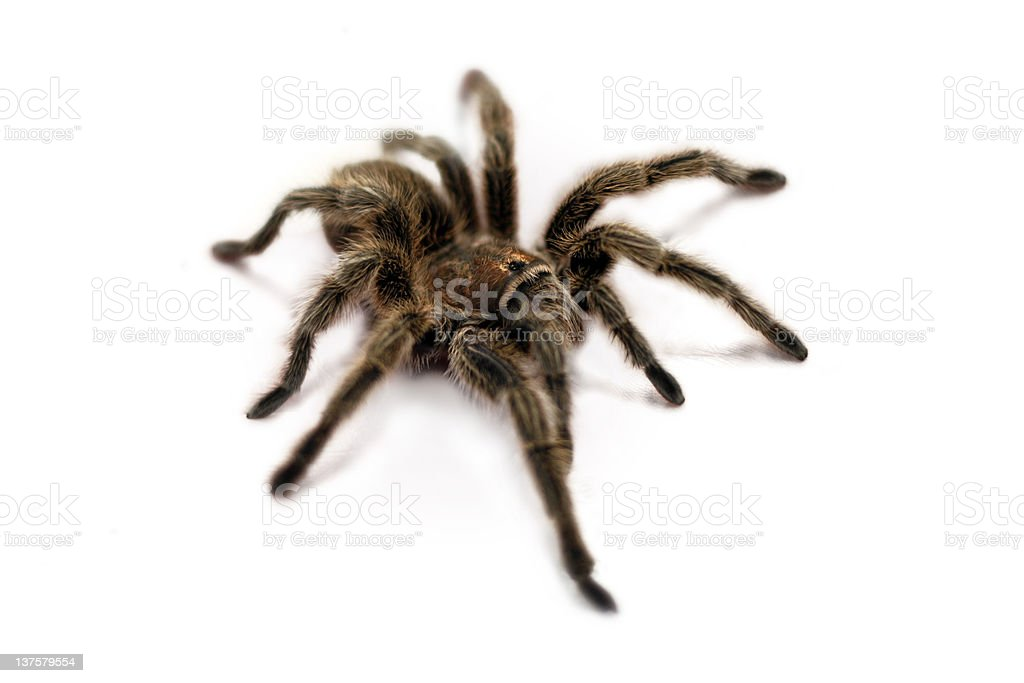 Tarantula Spider (white bg) royalty-free stock photo