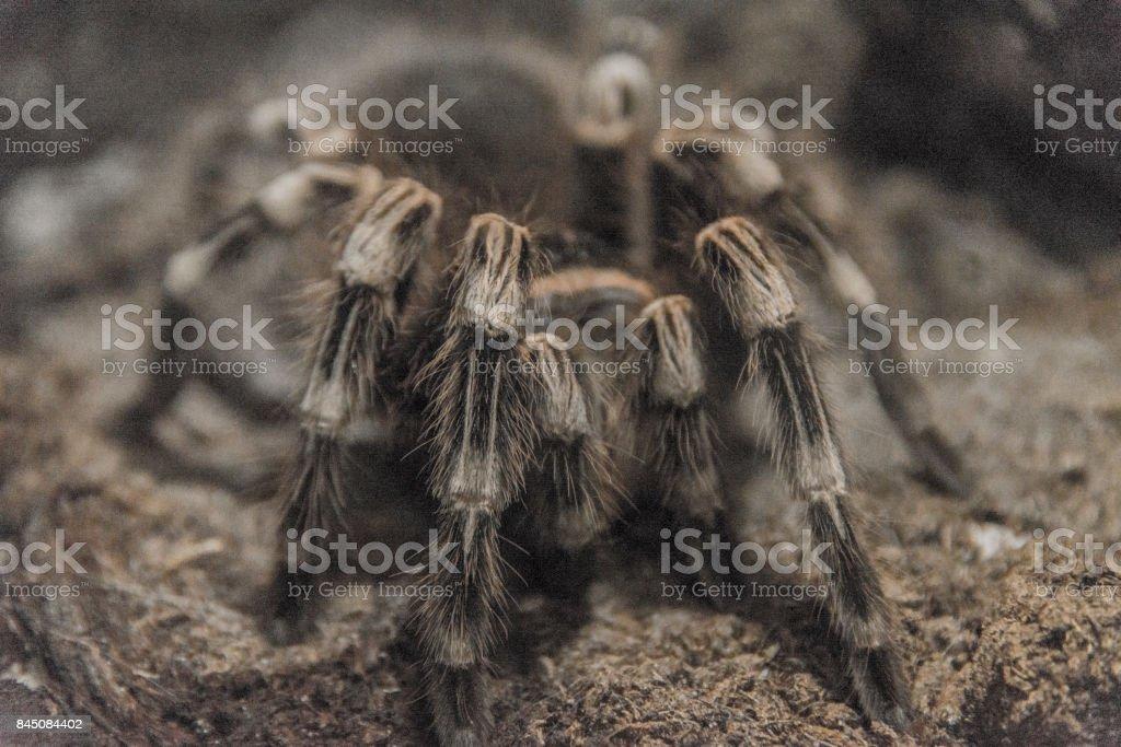 tarantula spider stock photo