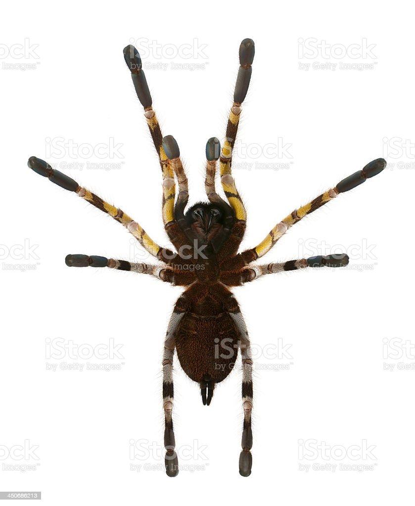 Tarantula spider, Poecilotheria Fasciata royalty-free stock photo