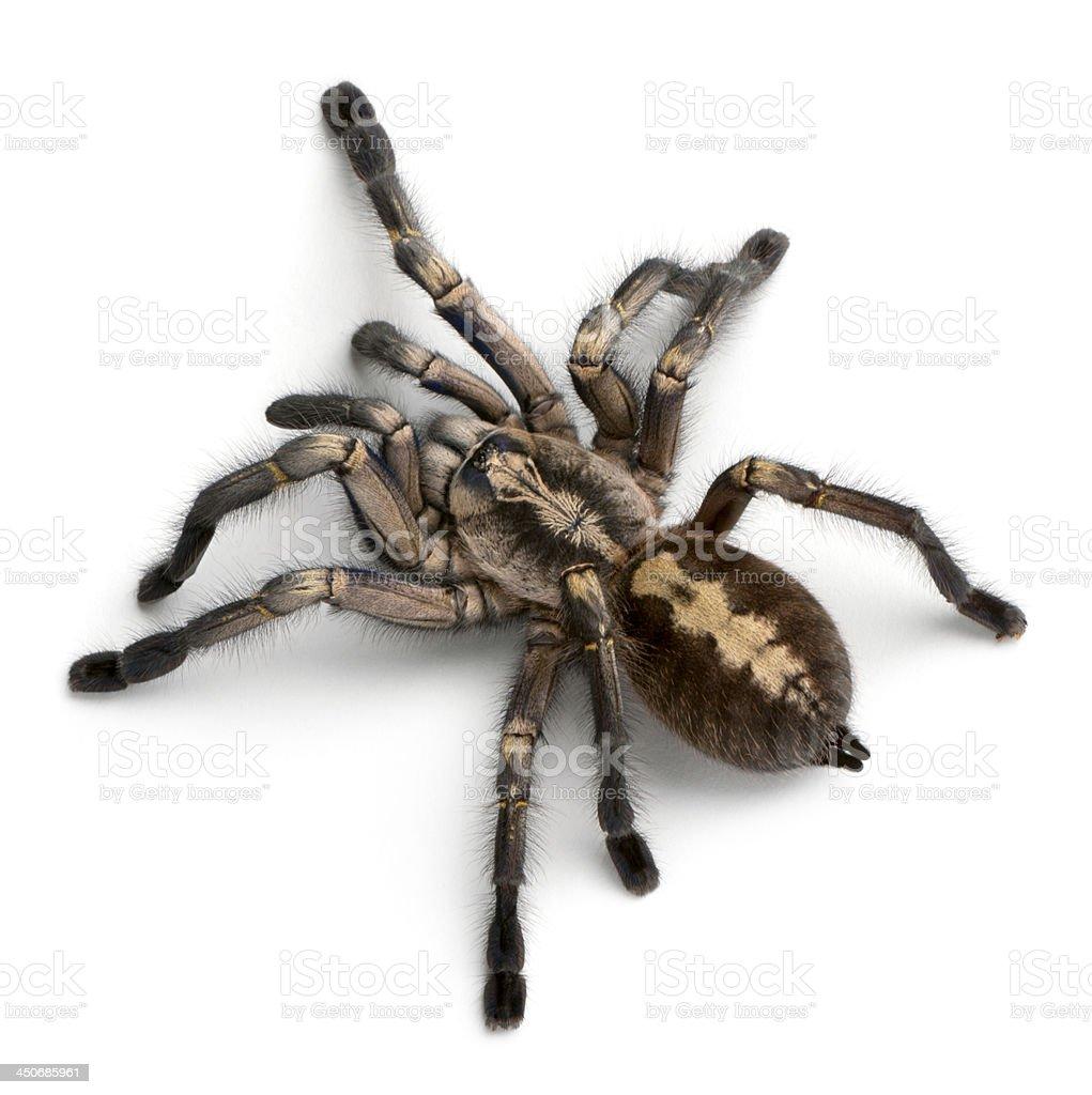 Tarantula Spider Poecilotheria Metallica Stock Photo - Download