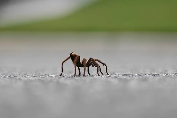 tarantula spinne geht auf der straße - mark tantrum stock-fotos und bilder