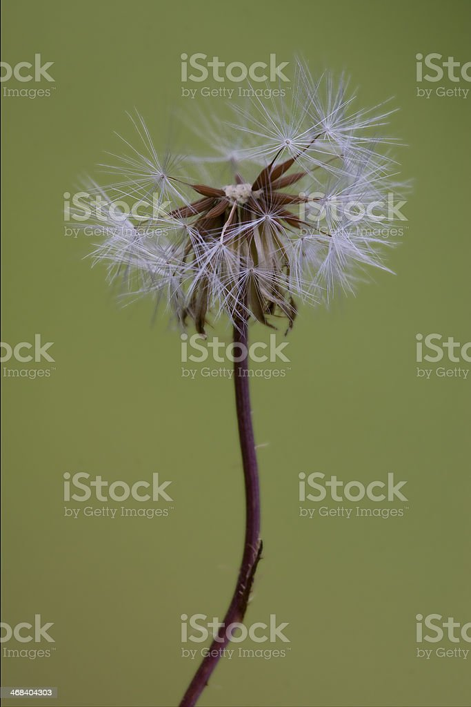 taraxacum officinale  background royalty-free stock photo