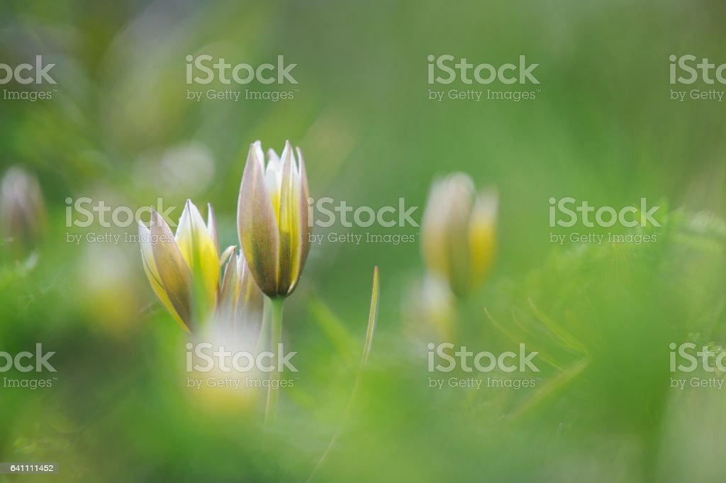 Tarda tulip, Botanical tulip in springtime stock photo