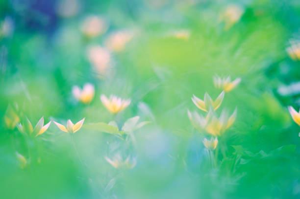 Tarda tulip, Botanical tulip, Tulipa tarda stock photo