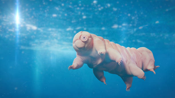 tardigrade, swimming water bear, microscopic extremophile - resilience concept stock photos and pictures