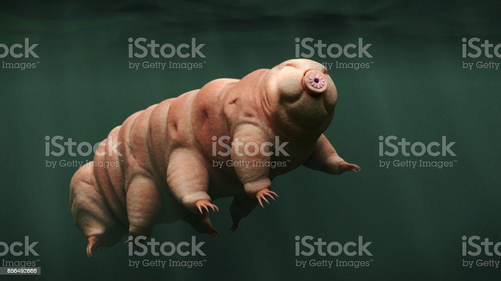 tardigrade, swimming water bear royalty-free stock photo