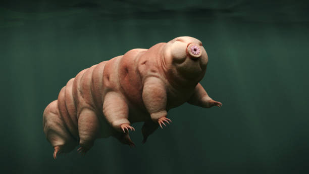 tardigrade, swimming water bear - microscope stock photos and pictures