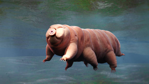 tardigrade, swimming water bear stock photo