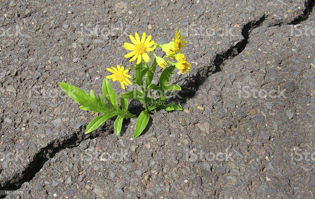 Asphalt Blume – Foto