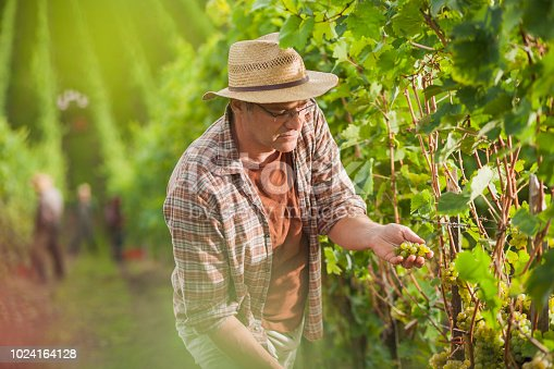 540524550 istock photo Tarmer inspecting the grapes for harvest 1024164128