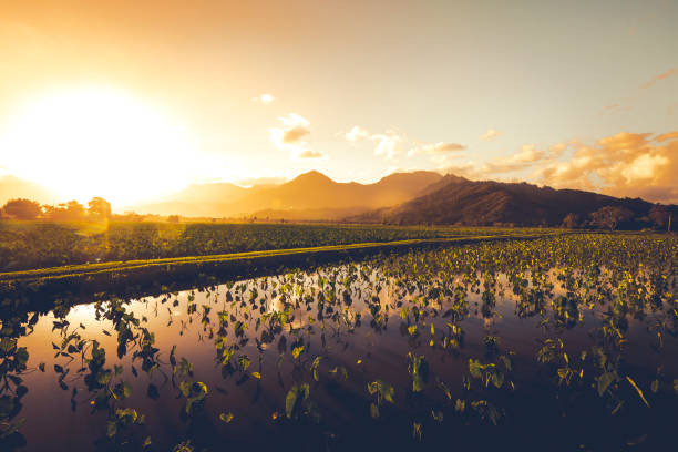 Taro Ackerland Landwirtschaft, Insel Kauai, Hawaii-Inseln – Foto