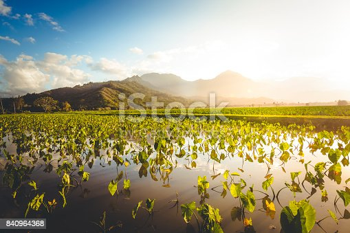 agriculture in hanalei, island of kauai, hawaii islands.