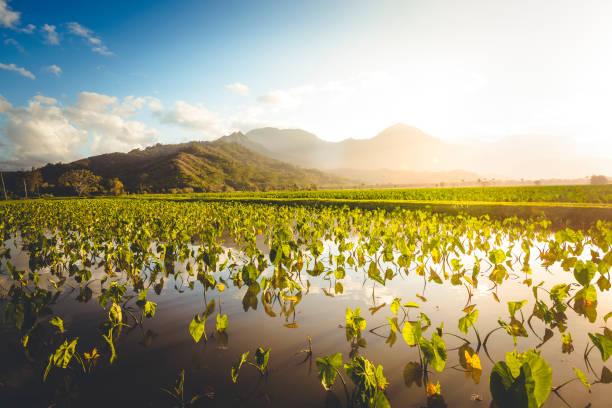 taro fields agriculture, hawaii islands stock photo