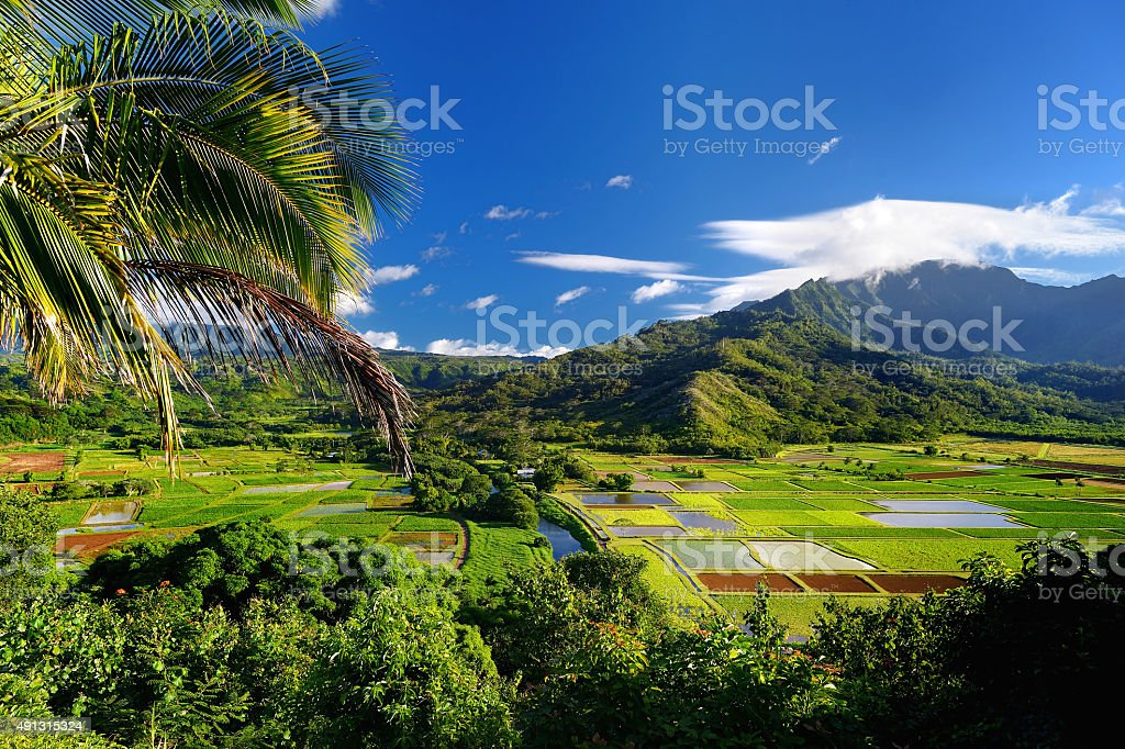 Taro fields in beautiful Hanalei Valley stock photo
