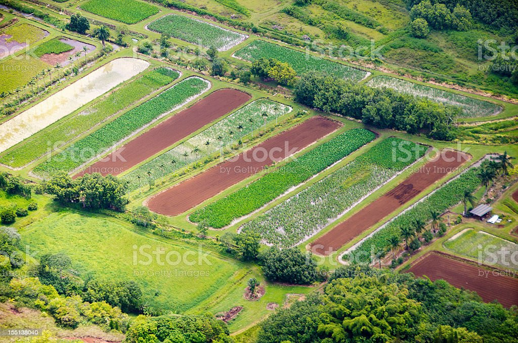 taro fields stock photo