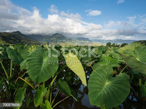 istock Taro plants in Hanalei Valley in Kauai 700379434