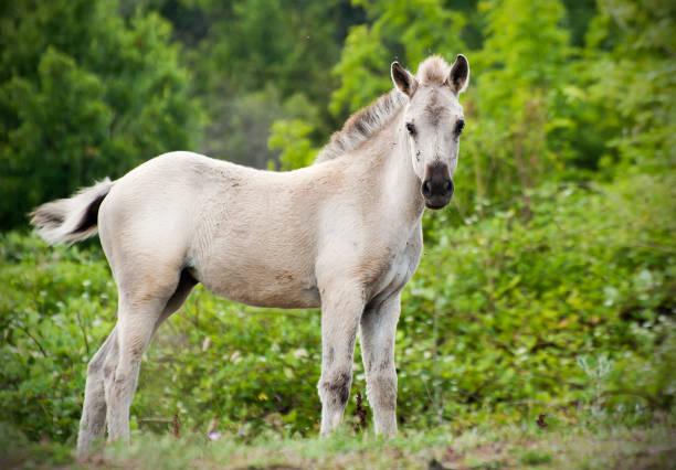 Tarpan Foal Young Wild Horse stock photo