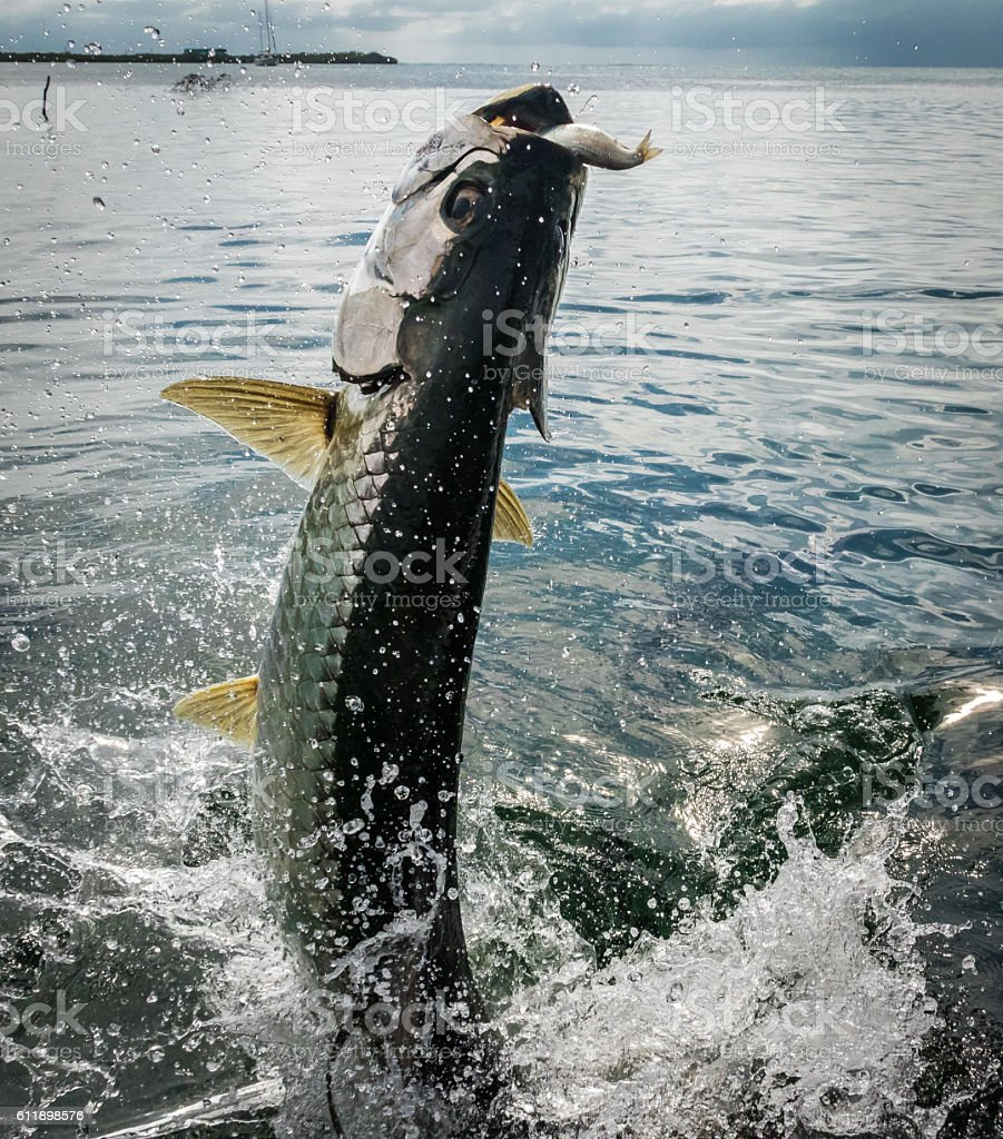 Tarpon fish jumping out of water - Caye Caulker, Belize stock photo