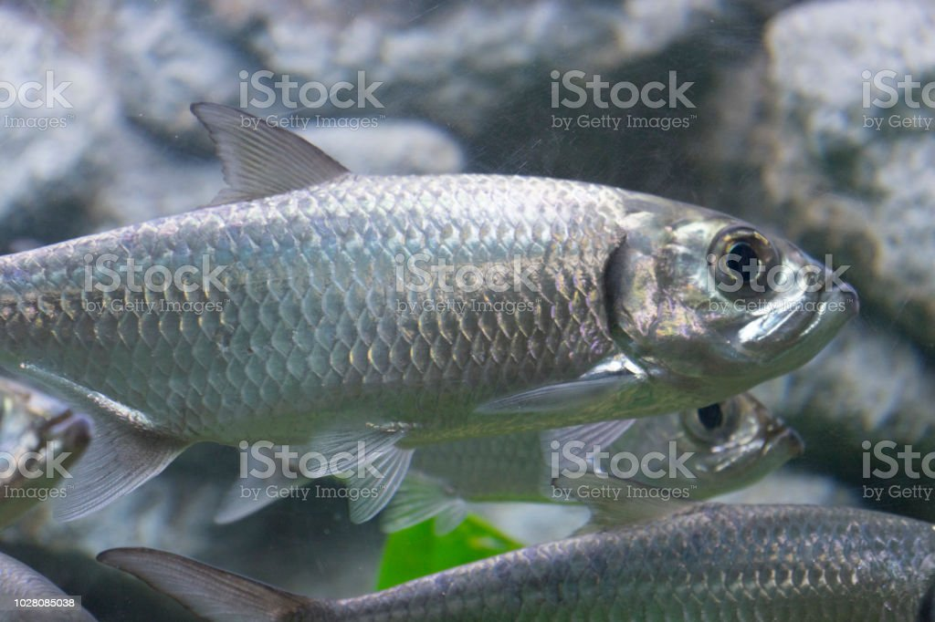 Tarpon Indo-Pacific or Megalops cyprinoides fish stock photo