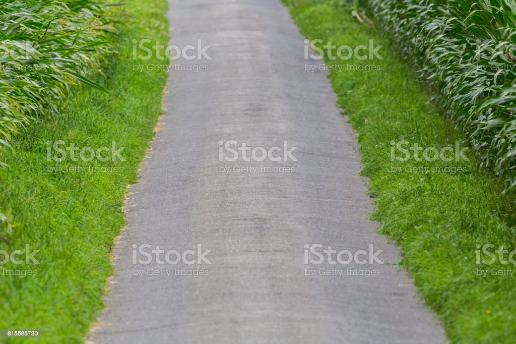 tarred agricultural path within fields of sweet corn plants stock photo
