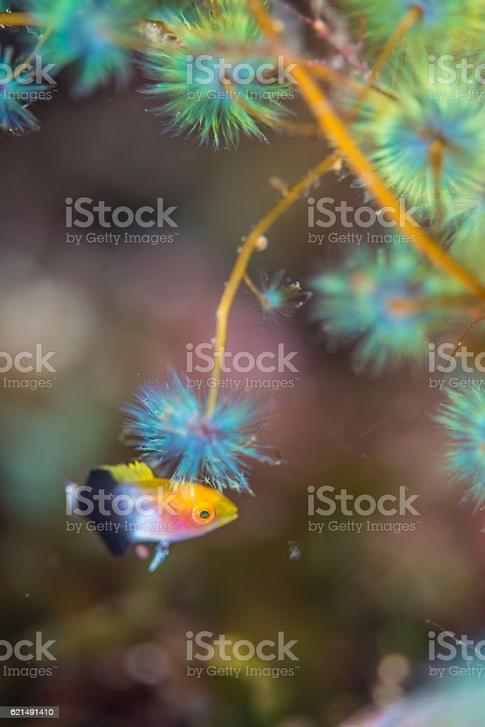 Tarry hogfish foto stock royalty-free
