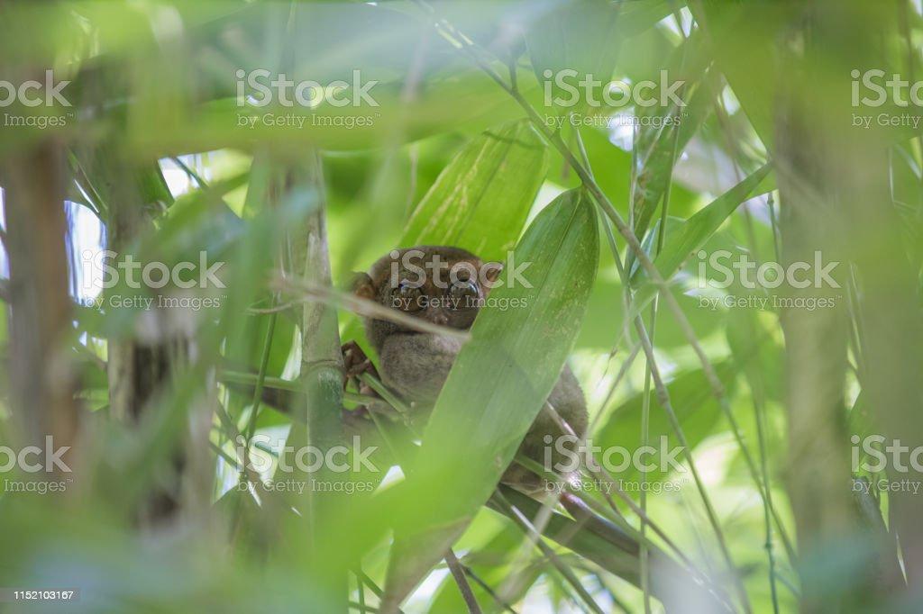 Tarsier monkey the world\'s smallest, The Philippine tarsier is a...