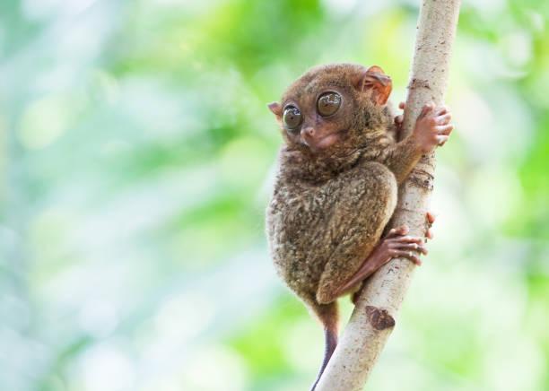 Tarsier Tarsier des Philippines marmoset stock pictures, royalty-free photos & images