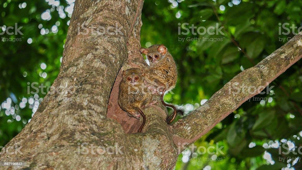 Tarsius tarsier in Tangkoko National Park, Indonesia stock photo