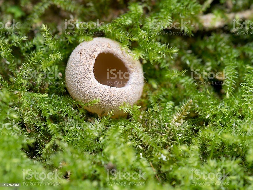 Tarzetta fungus macro, nestling in moss. stock photo