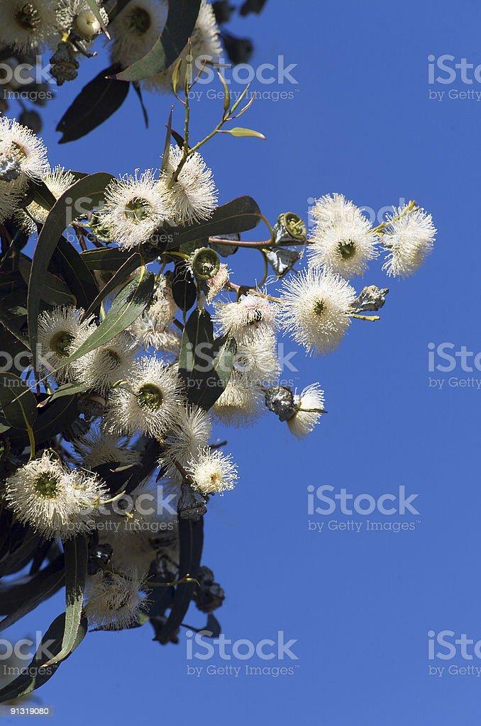 Tasmanian Blue Gum royalty-free stock photo