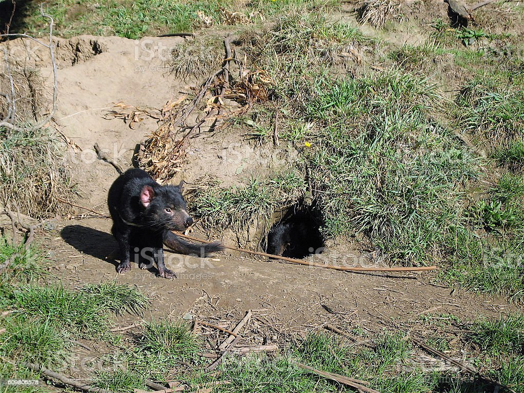 Tasmanian Devil & Burrow stock photo