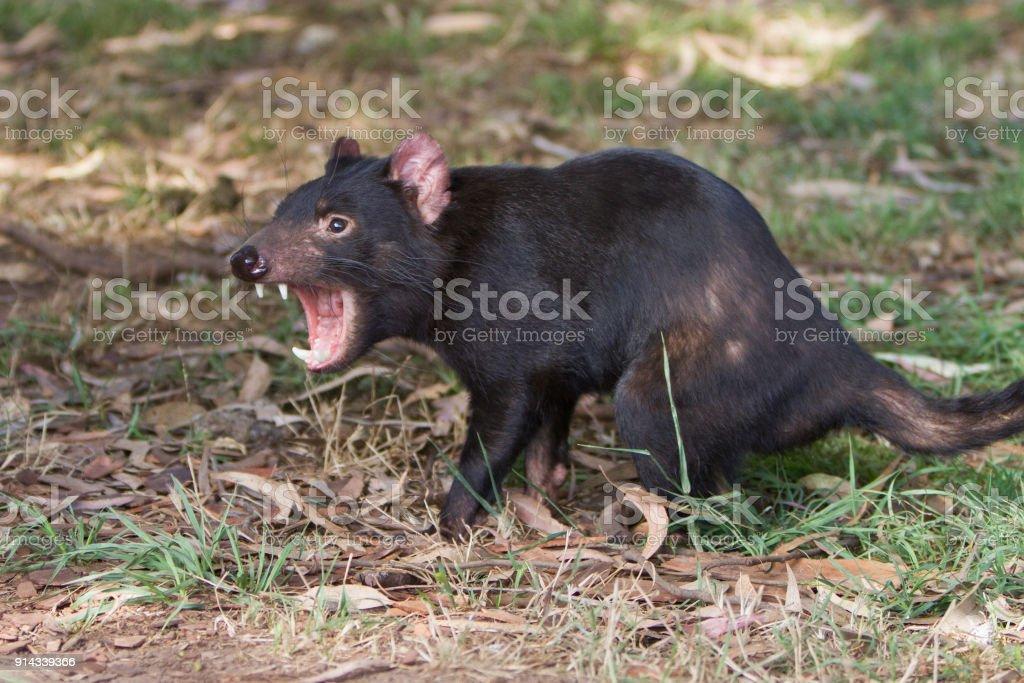 Tasmanian Devil Growling stock photo