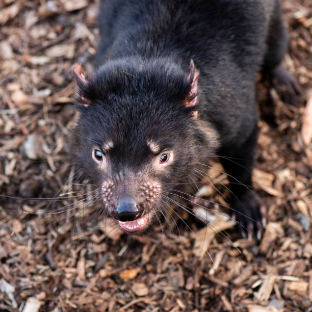 Tasmanian Devil outside during the day in Tasmania. stock photo