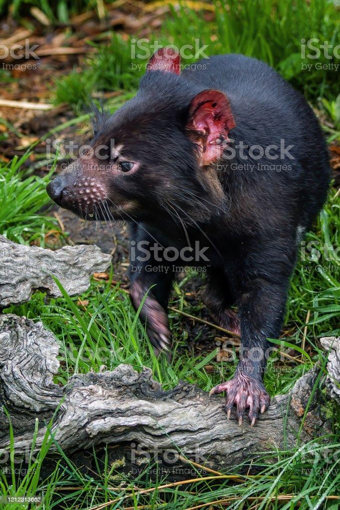 Tasmanian Devil (Sarcophilus harrisii) - Royalty-free Aggression Stock Photo