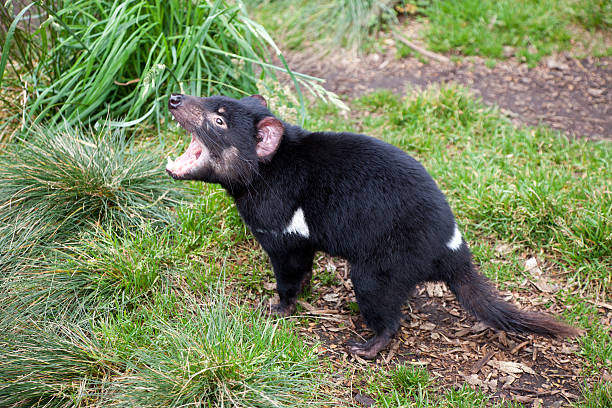 Best Tasmanian Devils Tasmania Stock Photos, Pictures & Royalty ...