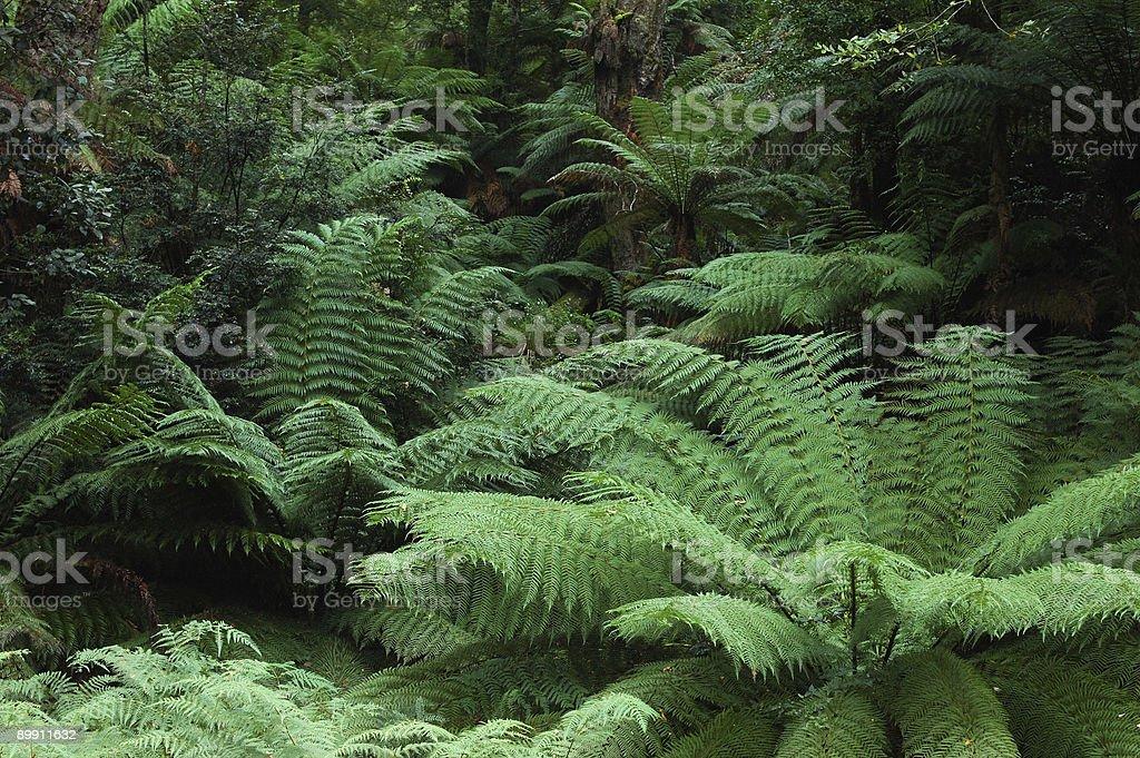 tasmanian forest royalty-free stock photo