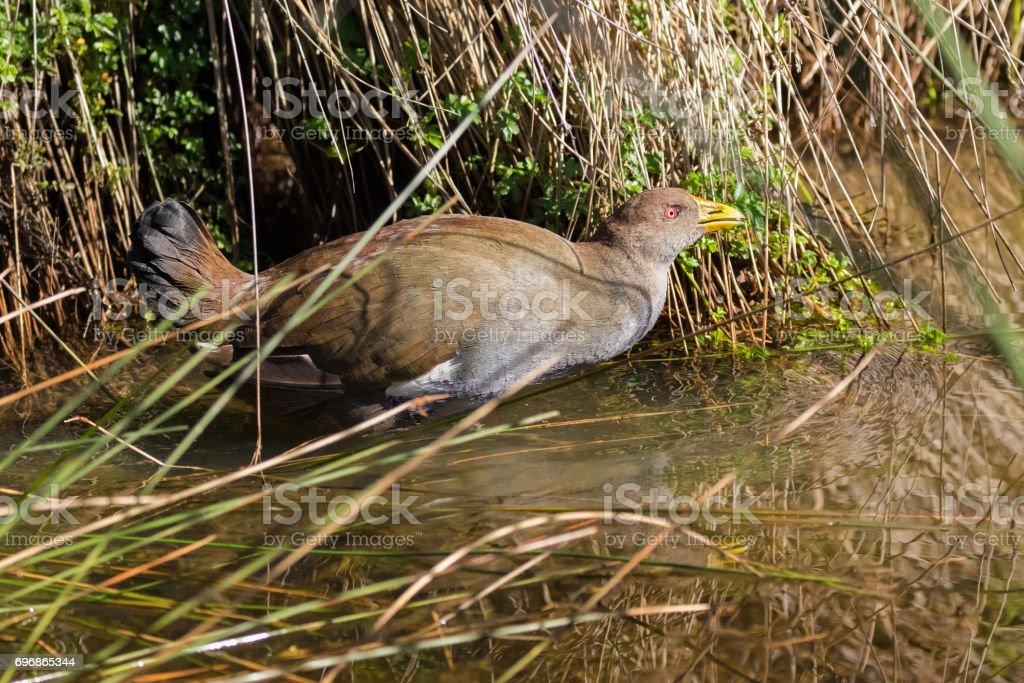 Tasmanian nativehen, flightless bird with yellow beaks, red eyes walking in water, endemic to Tasmania, Australia stock photo