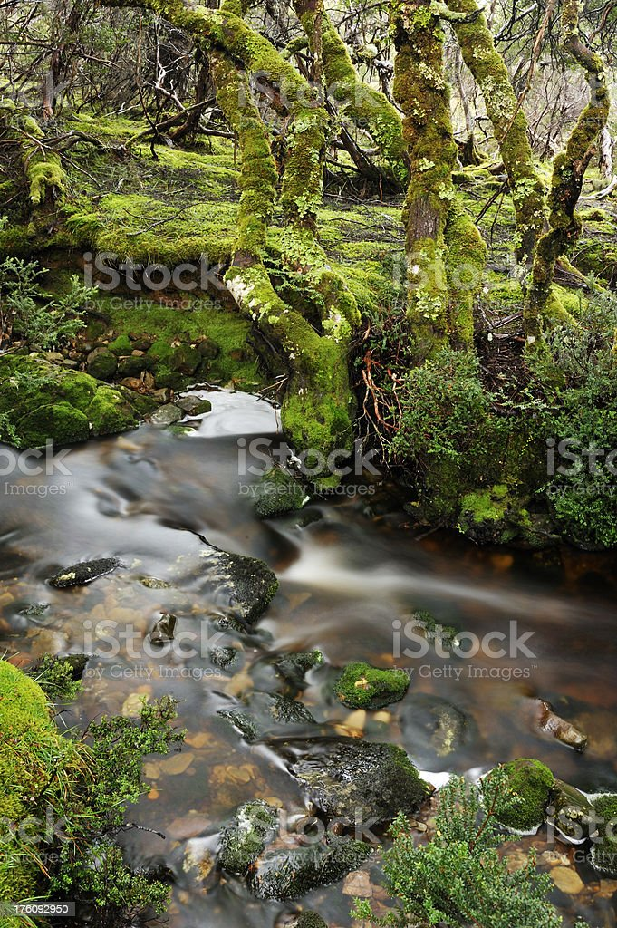Tasmanian old forest royalty-free stock photo
