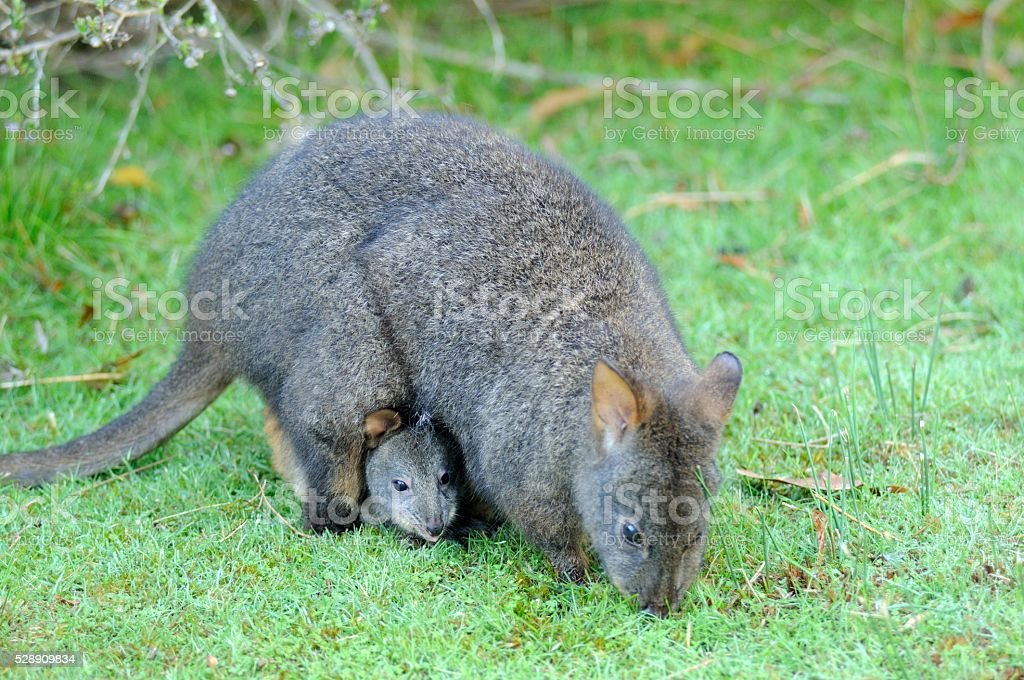 Tasmanian Pademelon stock photo