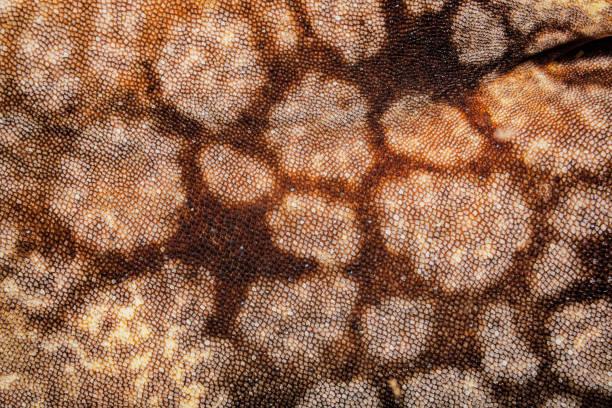 Tasselled Wobbegong Eucrossorhinus dasypogon, Close-up of Skin, Raja Ampat, Indonesia stock photo
