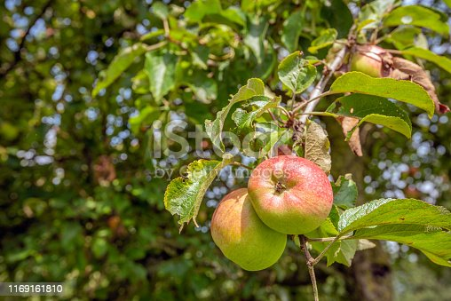 istock Tasty apples growing on an apple tree from close 1169161810
