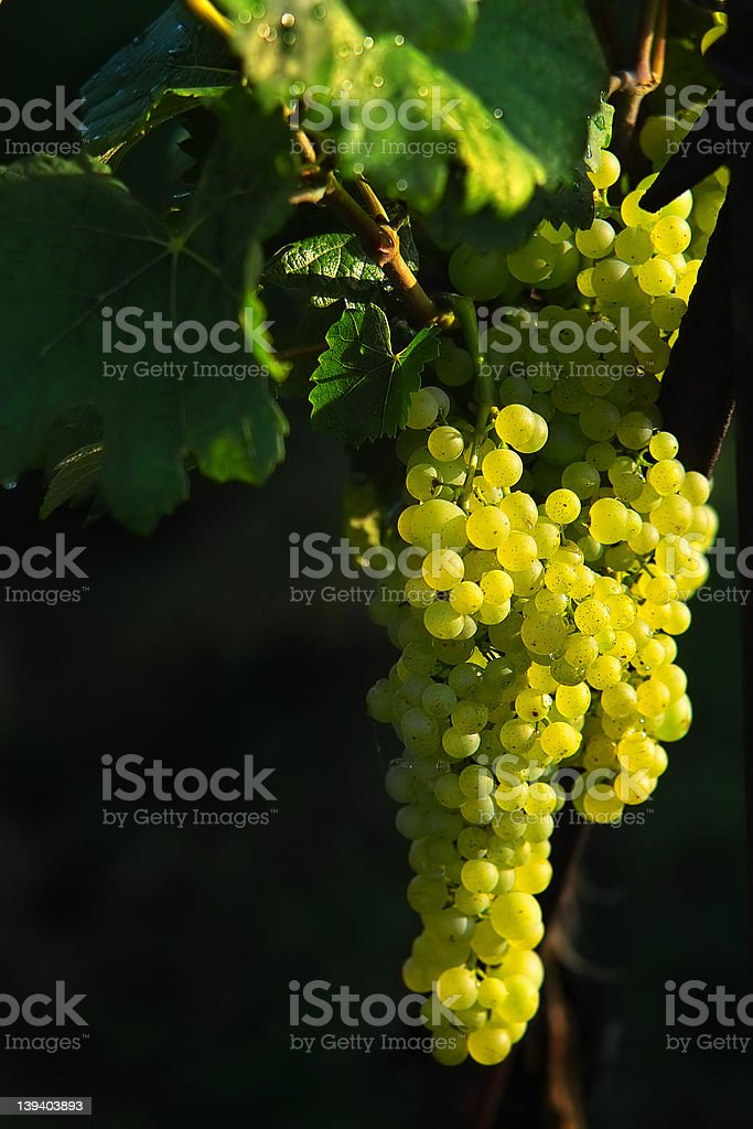 Tasty grapes royalty-free stock photo
