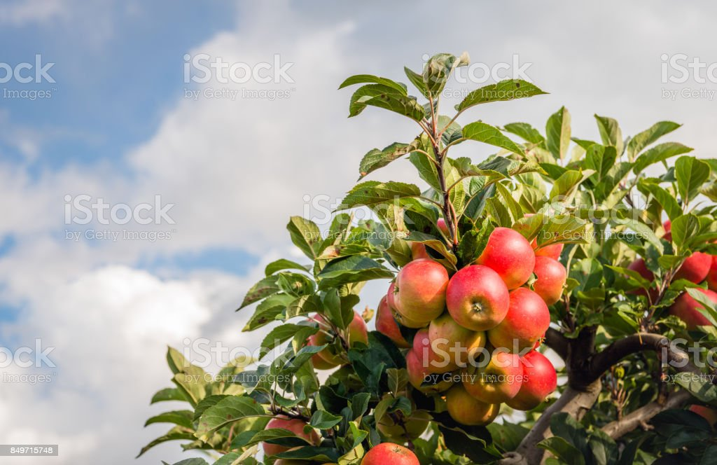 Tasty red apples against a cloudy sky stock photo