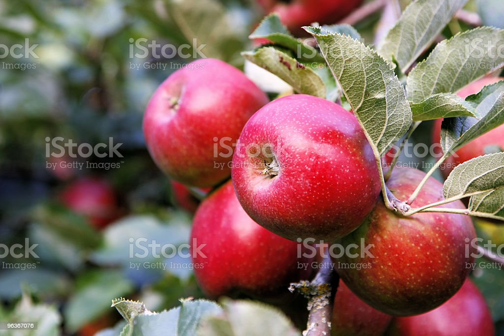 Tasty Red Apples stock photo