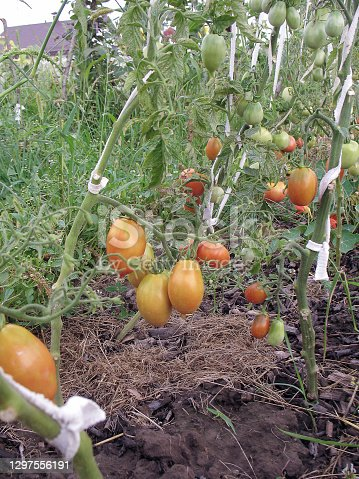 Tasty tomatoes are growing in garden