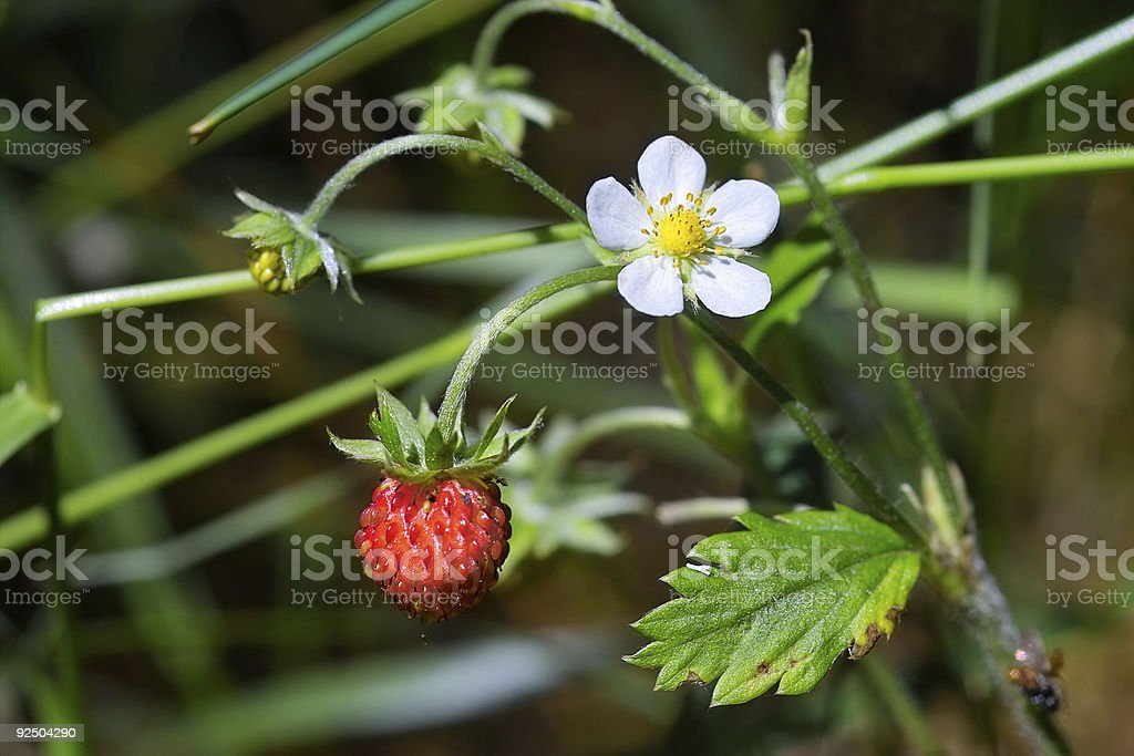 Tasty wild strawberries stock photo
