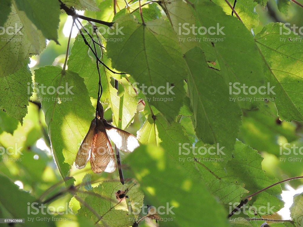 Tatar Maple stock photo