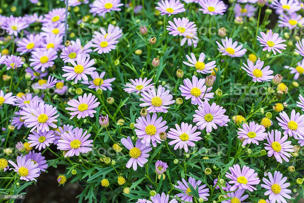 Tatarian aster's purple flowers blooming (Aster tataricus) stock photo