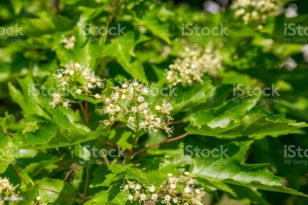 Tatarian maple (Acer tataricum) in blossom stock photo